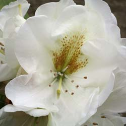 Rhododendron 'Phyllis Korn'