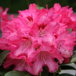Rhododendron nain 'Sneezy'