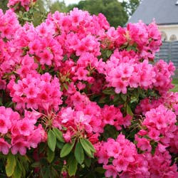 Rhododendron rose 'Anna Rose Whitney'