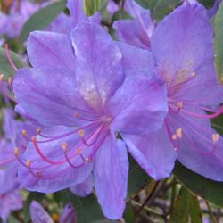 Rhododendron 'Augustinii'