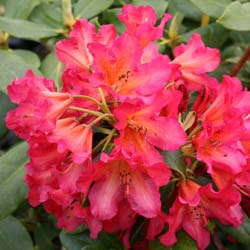 Rhododendron rose 'Golden Gate'