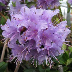 Rhododendron 'Penheale Blue'