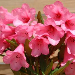 Rhododendron 'Winsome'