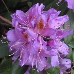 Rhododendron pontique