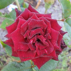 Rosier 'Black Baccara'