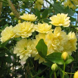 Rosier de Banks 'Lutea'