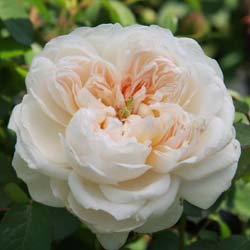 Rosier 'Glamis Castle'
