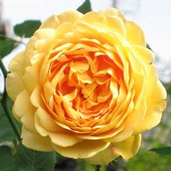 Rosier 'Golden Celebration'