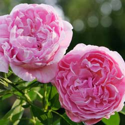 Rosier 'Mary Rose'