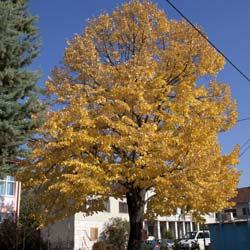 Boutique - Tilleul a grandes feuilles ...