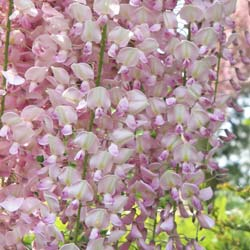 Glycine rose 'Pink Ice'