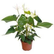 plante fleurs blanches en pot. Black Bedroom Furniture Sets. Home Design Ideas