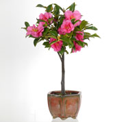 Bonsai Camellia 5 years