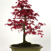 Japanese Maple Bonsai 'Deshojo' 8 years