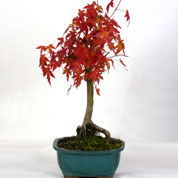 Japanese Maple Bonsai 6 years