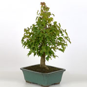 Bonsai Trident Maple 10 ans