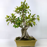 Bonsai Ficus retusa 15 anos