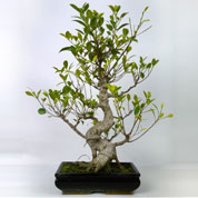 Bonsai Ficus retusa 8 anos