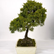 Bonsai Chinese Juniper 15 years