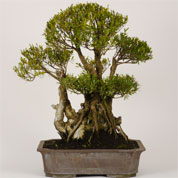 Bonsai Myrtle 30 years