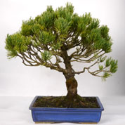 Bonsai Mugho Pine 12 years