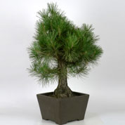 Bonsai Japanese Black Pine 25 ans