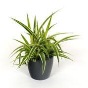 achat du chlorophytum acheter au meilleur prix de vente