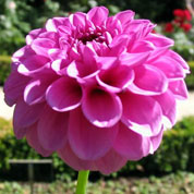 Dahlia Ball 'Boy Scout'