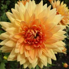 Dahlia décoratif 'House of Orange'