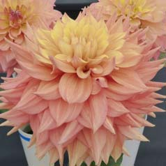Dahlia décoratif 'Peaches and Cream'