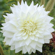 Dahlia décoratif 'White Perfection'