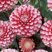 Dahlia Pompon 'Little William'
