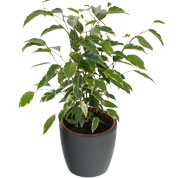 Ficus Golden King + Cache pot Anthracite