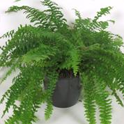 Offrir une plante quelle plante offrir en ce moment - Fougere de boston depolluante ...