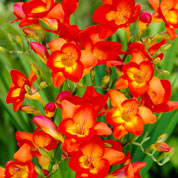 Freesia simple rouge