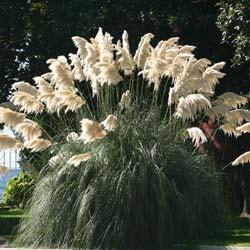 Achat de l 39 herbe du japon acheter au meilleur prix de vente - Herbe de la pampa prix ...