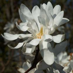 Achat du magnolia grandiflora acheter au meilleur prix de vente - Prix magnolia jardiland ...