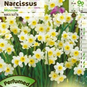 Narcisse miniature 'Minnow'