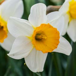 Narcisse trompette 'Barret Browning'
