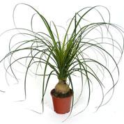 L 39 alocasia plante verte semi aquatique aux feuilles normes - Plante verte appelee pied d elephant ...