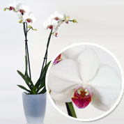 Orchidée Blanche + Cache pot Transparent