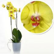 achat de l 39 orchid e acheter au meilleur prix de vente. Black Bedroom Furniture Sets. Home Design Ideas