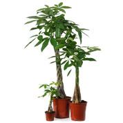 pachira aquatica une plante verte poussant dans l 39 eau et tr s facile de culture. Black Bedroom Furniture Sets. Home Design Ideas