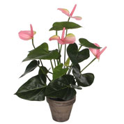 Plante Artificielle - Anthurium Rose - MICA