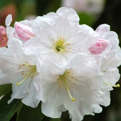 Rhododendron 'Discolor'