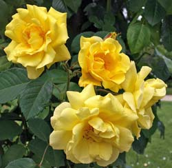 Rosier 'Golden Gate'