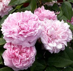 Rosier 'Jacques Cartier'