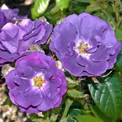 Rosier 'Rhapsody in Blue'