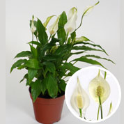spathiphyllum faux arum voile blanche fleur de lune. Black Bedroom Furniture Sets. Home Design Ideas