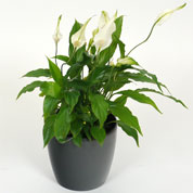 Spathiphyllum + Cache pot Anthracite